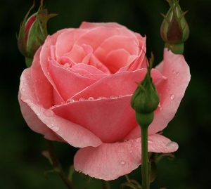 roza_10